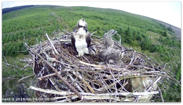 chick 3 is a bit unsteady still (c) Forestry Commission England