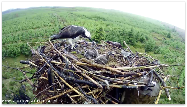 Chick 3 tucks in (c) Forestry Commission England