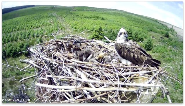 chick 2 does housework whilst chick 1 preens (c) Forestry Commission England