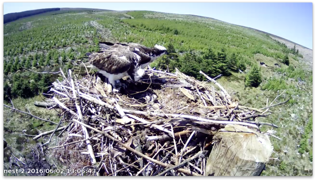 Nest 2 chick 3 stretches up, bottom still in the shell! (c) Forestry Commission England