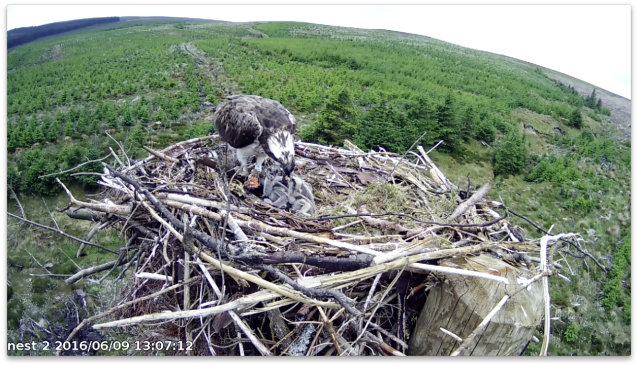 Chick 3 manages a big chunk (c) Forestry Commission England