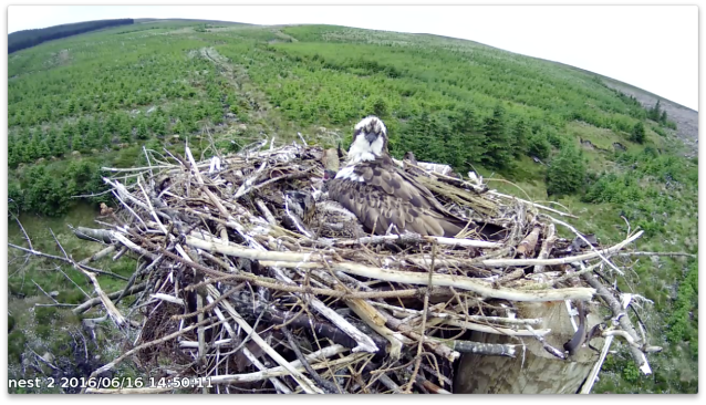 chick 1 chews a stick and chick 3 yawns (c) Forestry Commission England