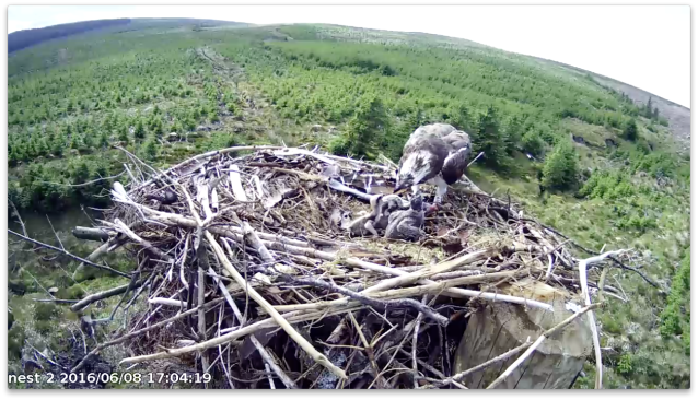 Chick 1 is twice chick 3's size (c) Forestry Commission England