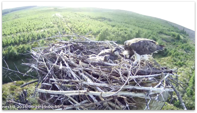 chick 1 tops up despite looking full to the brim! (c) Forestry Commission England
