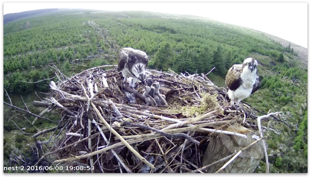 A plump crop on chick 3 (c) Forestry Commission England