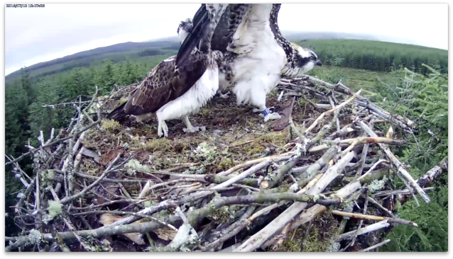 The female doesn't get out of the way quickly enough (c) Forestry Commission England