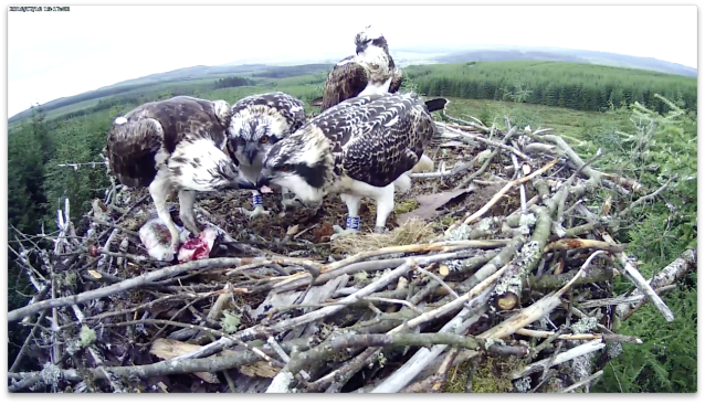The male feeds the chicks (c) Forestry Commission England