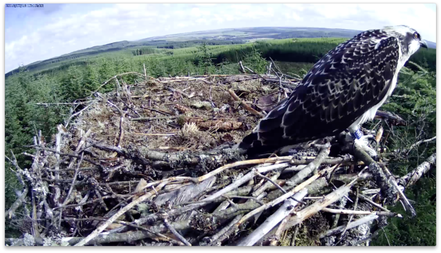 Is VH still thinking about fledging or perhaps another flight is on her mind (c) Forestry Commission England