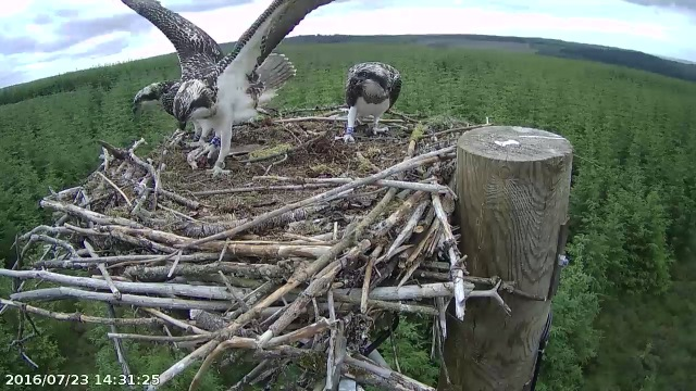 The battle for possession just after delivery! (c) Forestry Commission England
