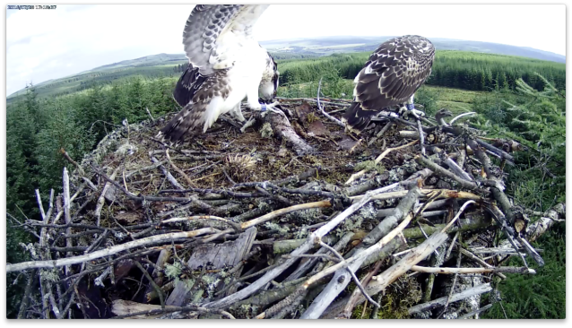 VH feeds whilst VR watches the world outside the nest (c) Forestry Commission England