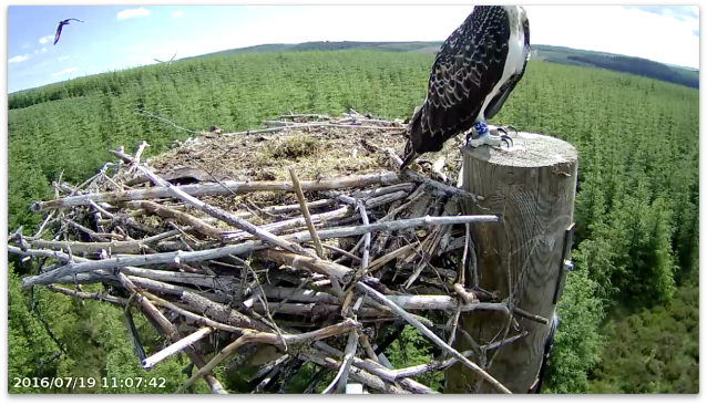 The rear osprey could be Mrs YA, the one at the front is a juvenile (c) Forestry Commission England