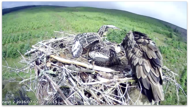 chick 3's wings look much more like an osprey at 30 days old (c) Forestry Commission England