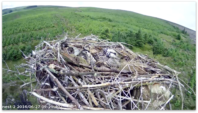 headless ospreys (c) Forestry Commission England