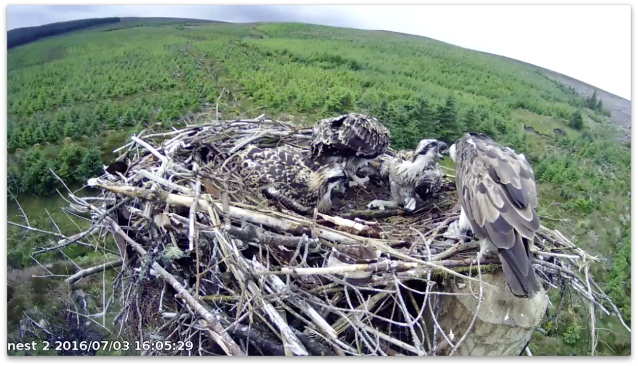 chick 3 looks replete after 20 minutes of eating! (c) Forestry Commission England