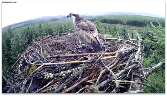 The female finishing off a remnant (c) Forestry Commission England