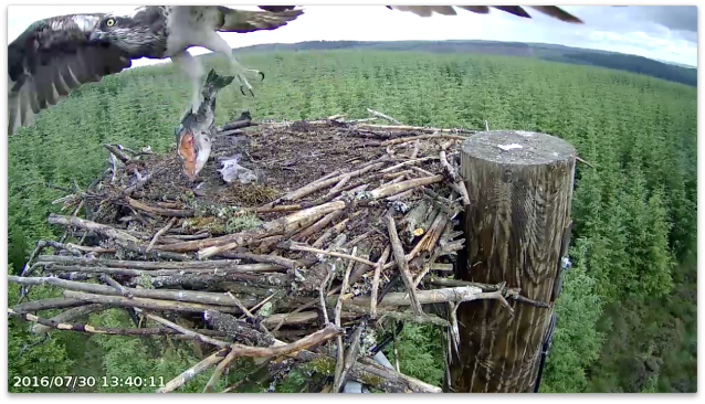 Mrs YA takes away a larger piece than she brought in! (c) Forestry Commission England