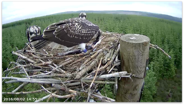 Y3 has been eating for an hour, but no let up yet (c) Forestry Commission England