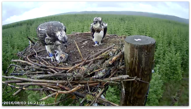 A very wet pair of ospreys (c) Forestry Commission England