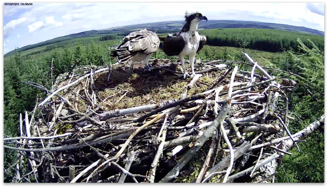 The male looks a bit thin as he leaves a whole trout for VR (c) Forestry Commission England