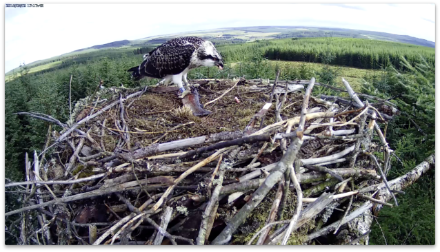 VH adopts an unusual sideways stance for part of her feed (c) Forestry Commission England