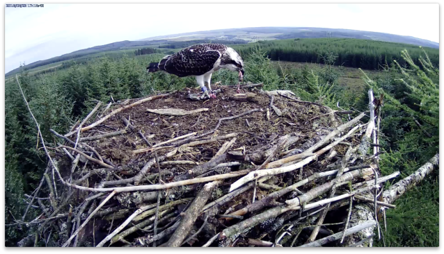 VH building up her reserves (c) Forestry Commission England