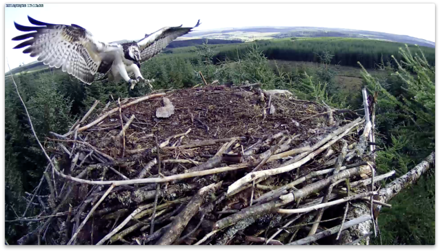 VR hurtles in to the nest (c) Forestry Commission England