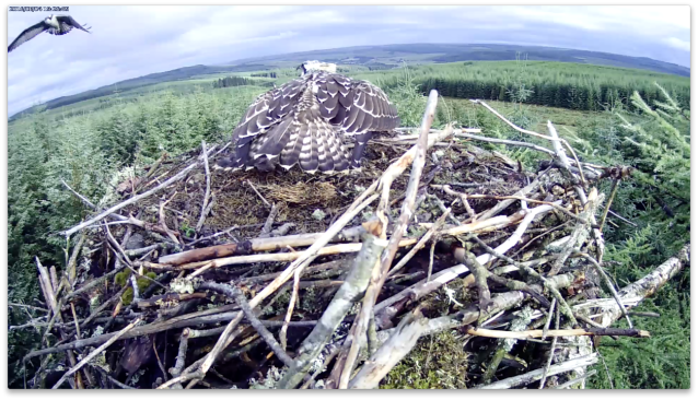 VH watches an intruder fly close to the nest (c) Forestry Commission England