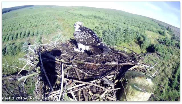 Y6 on the nest briefly (c) Forestry Commission England