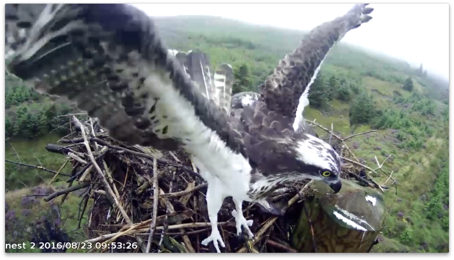 An unringed intruder touches down (c) Forestry Commission England