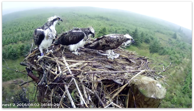 EB ignores the juveniles and eats (c) Forestry Commission England