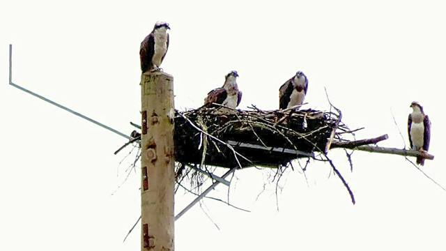 Blue 69 on the pole, thee female then Y8 in the nest and Y7 on the perch (c) Forestry Commission England