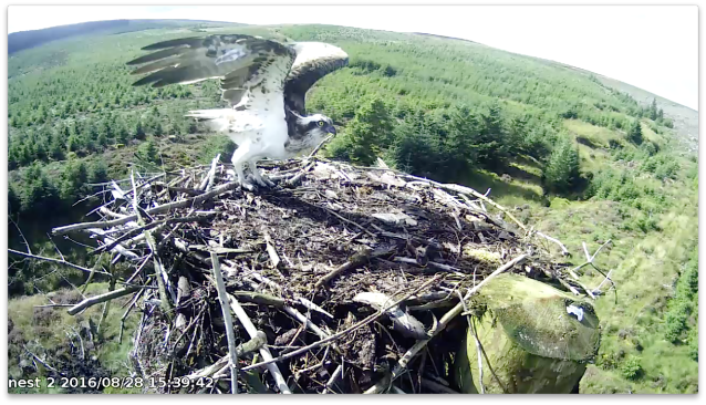 The unringed intruder leaving after her first visit (c) Forestry Commission England